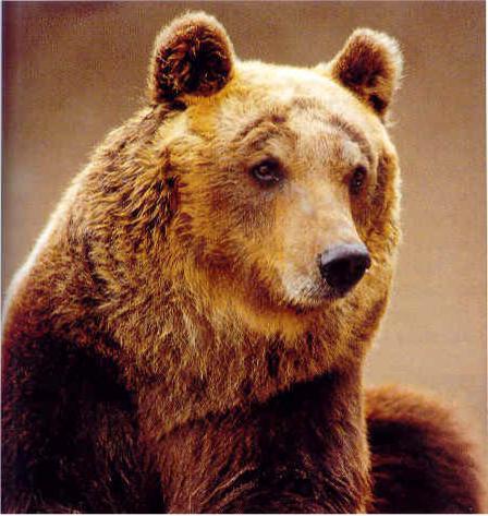Quante menzogne in nome dell'orso marsicano